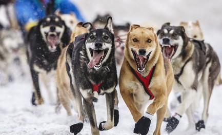 Vida de cão na vastidão do Alasca